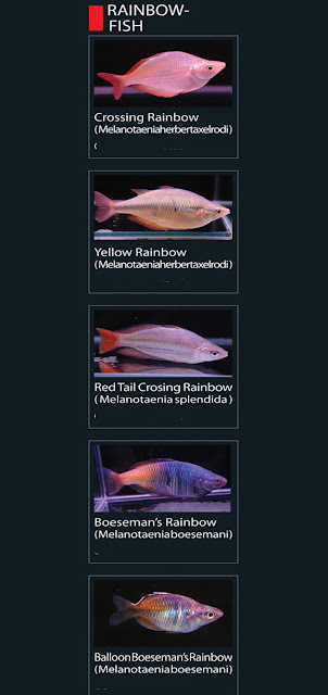 1. Crossing rainbow  Nama Latin melanotaenia herber taxelrodi  2. Yellow rainbow Nama Latin melanotaenia taxelrodi  3. Red Tail Crosing rainbow  Nama Latin melanotaenia  splendida 4. Boesemans rainbow Nama Latin melanotaenia boesemani  5. Balloon boesemans rainbow  Nama Latin melanotaenia boesemani