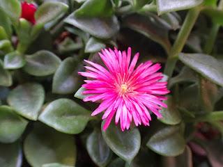 Rosinha-de-sol (Aptenia cordifolia (L.f.) Schwantes) É de mesmo tamanho, igualmente rasteira e de folhas suculentas como a onze-horas, no mais, são bem diferentes. A flor é composta de inúmeras pétalas, bem finas, e a folha chega a ser maior que a da beldroega.