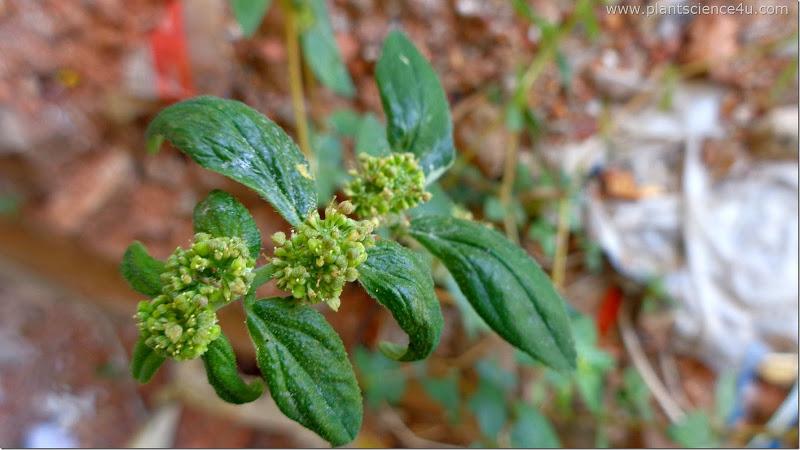 Euphorbia hirta (Euphorbiaceae)
