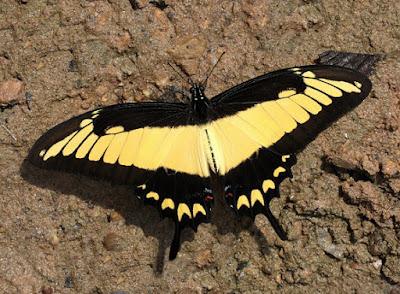 Mariposa astyalos (Heraclides astyalus)