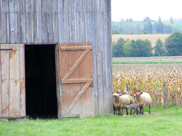 Ewes and lambs near a barn, Indre et Loire. France. Photo by Loire Valley Time Travel.