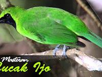 Kumpulan Suara Burung Cucak Ijo Mp3 Full Gacor Masteran