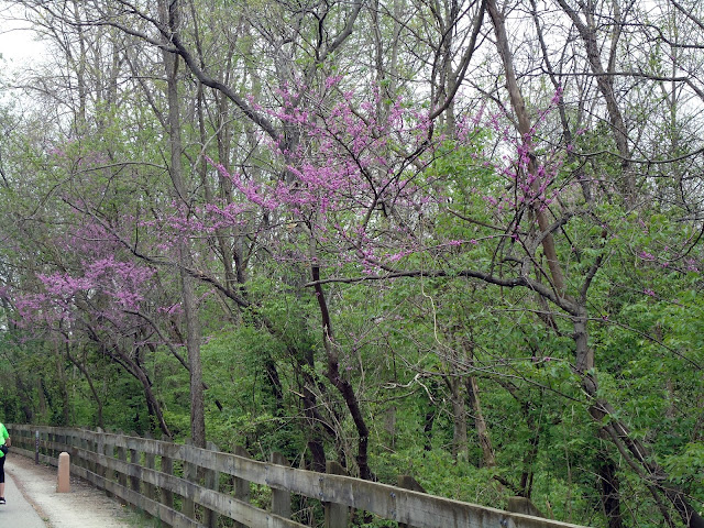 Row of trees in bloom with bright pink blossoms, taller trees with little foliage among them, wooden rail fence in foreground.