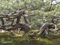 Trained to look this way - Kenroku-en Garden, Kanazawa, Japan
