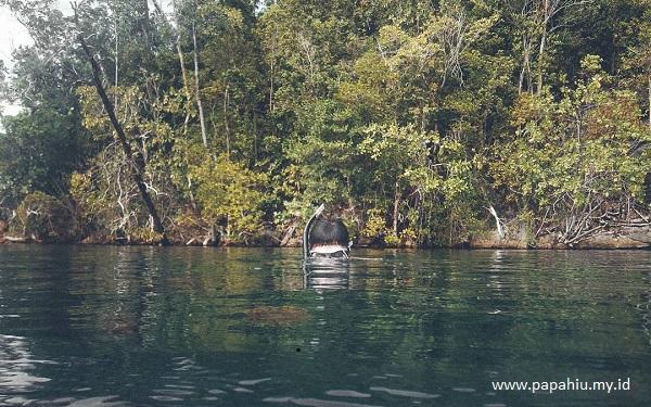 ubur-ubur-tidak-menyengat-danau-mariona