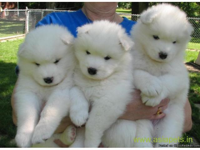 Asia Pets Asia Pets Labrador And Saint Bernard Puppy For Sale In Delhi