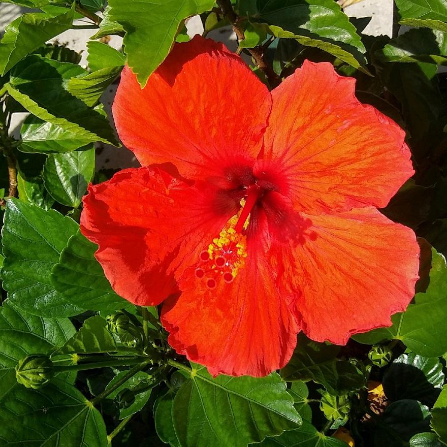 Can We Make Tea Of Hibiscus Flowers Tanza Erlambang Update