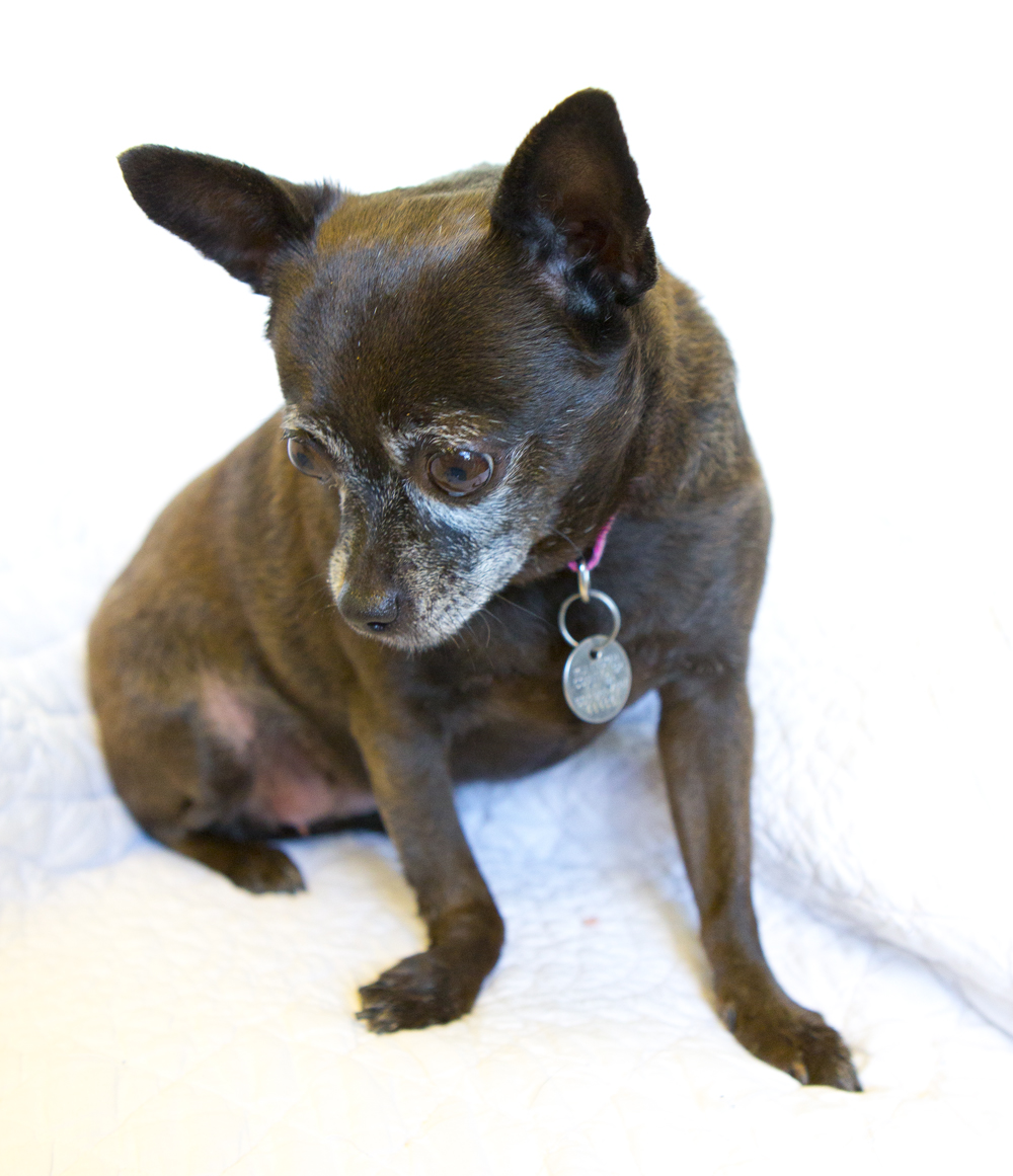 chubby chihuahua shelter dogs of portland quot missy quot the perfect stoic 8959