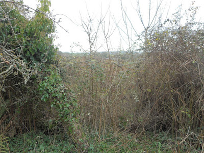 Elm saplings