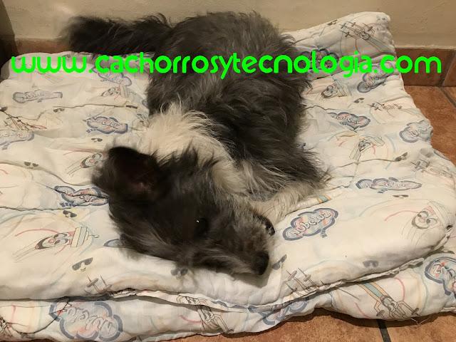 dog perro mayor dificultad caminar Dudu cachorros y tecnologia shurkonrad Convulsiones en perros Qué hago 3