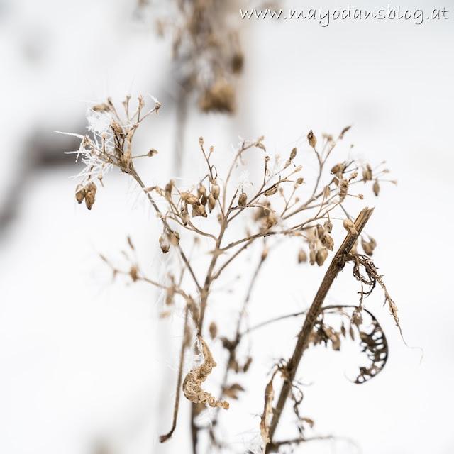 vertrocknete Schafgarbe mit Frost und Schnee
