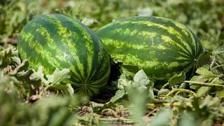 أفضل عشر كتب  عن البطيخ