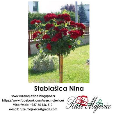 Ruža stablačica Nina