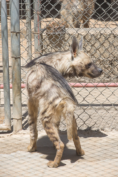 Stripped Hyaena