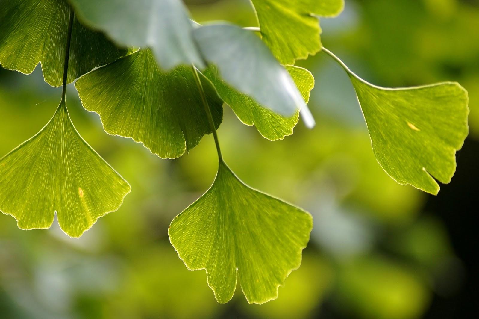 日差しの中のイチョウの葉
