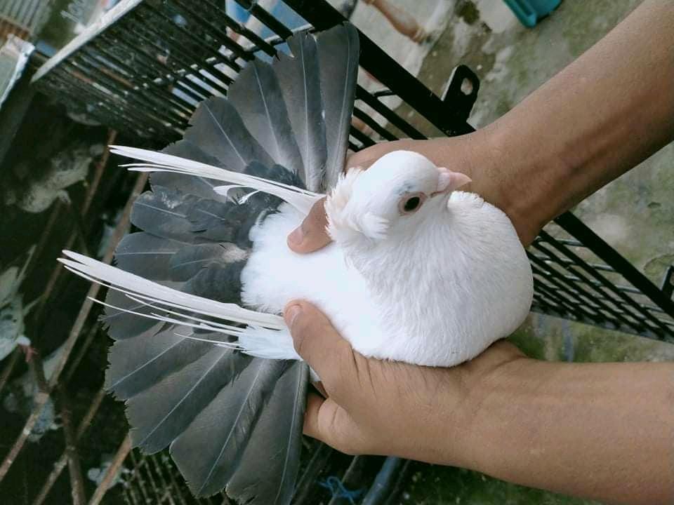 আন্তর্জাতিক কবুতর দিবস। Interanational Pigeons day