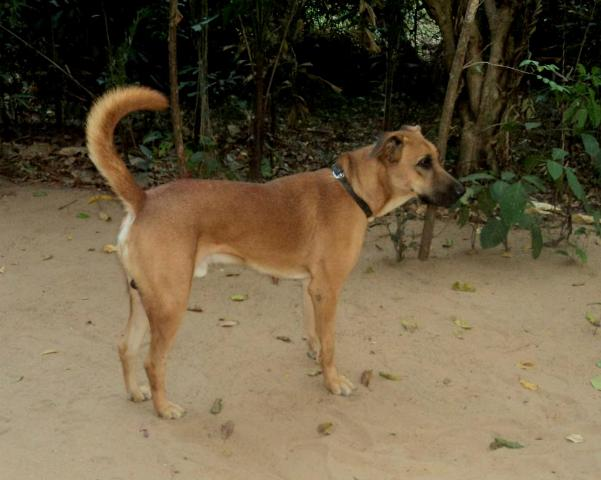 Kombai Dog Breed Information And Pictures