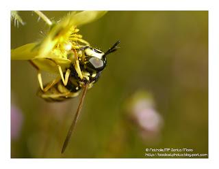 http://bioclicetphotos.blogspot.fr/search/label/Dipt%C3%A8res
