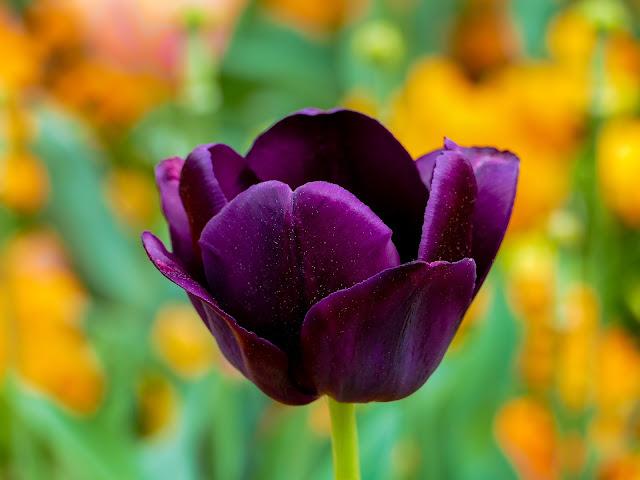 tulip-flower image