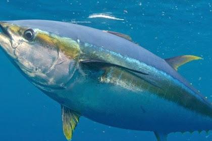 Cara Pengolahan Ikan Tuna Loin Beku