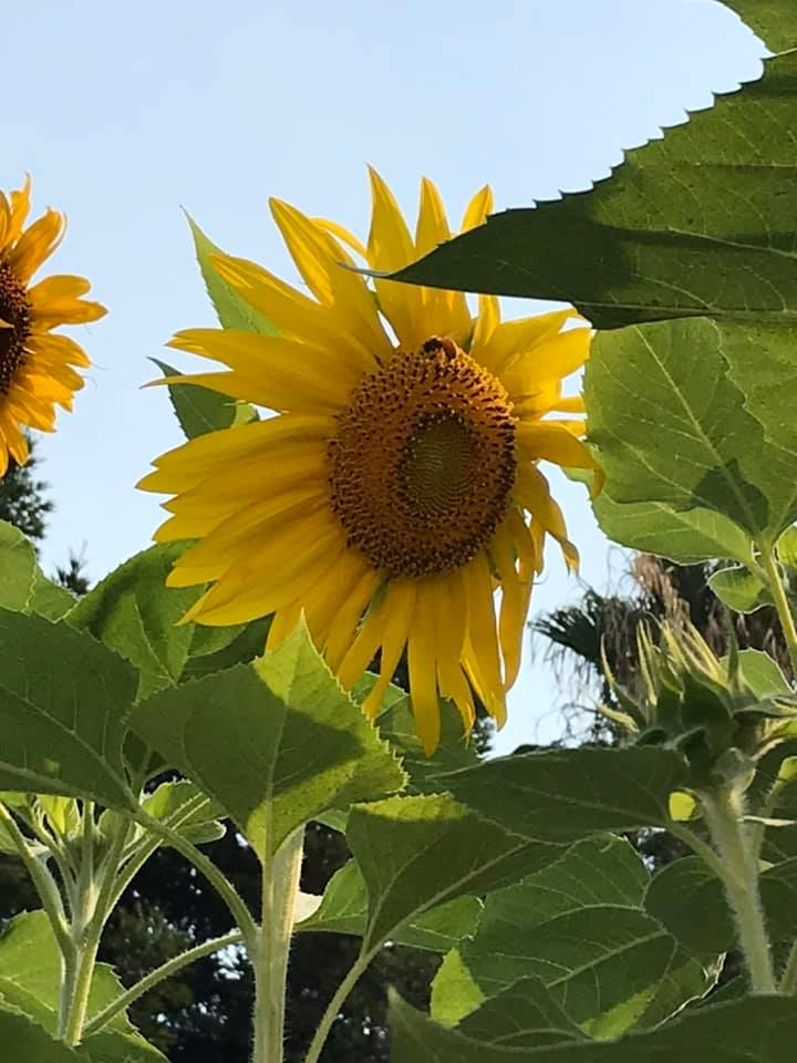 Sunflower Heaven