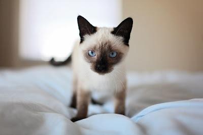 Mačke su primarni domaćini toksoplazme