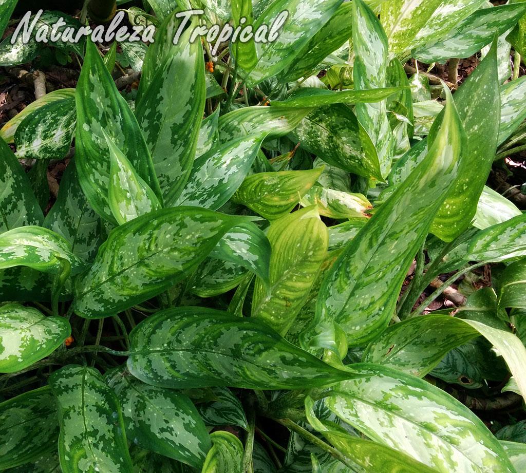 Naturaleza tropical manual para el cultivo de aglaonemas for 20 plantas ornamentales