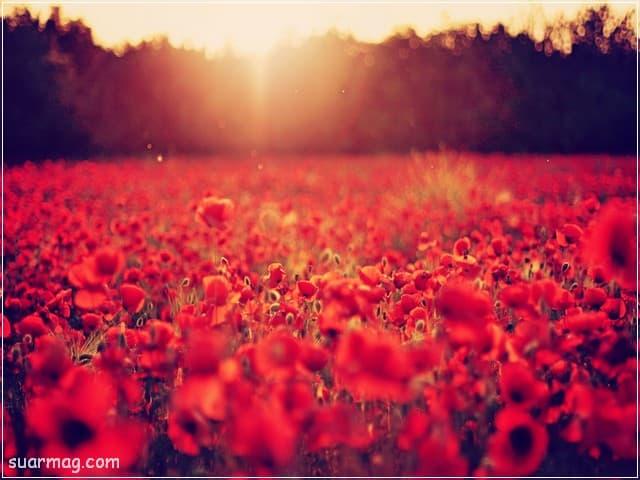 صور ورد - ورد احمر 2 | Flowers Photos - Red Roses 2