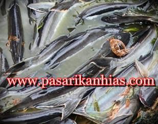 Jual Benih Bibit Ikan Patin Murah