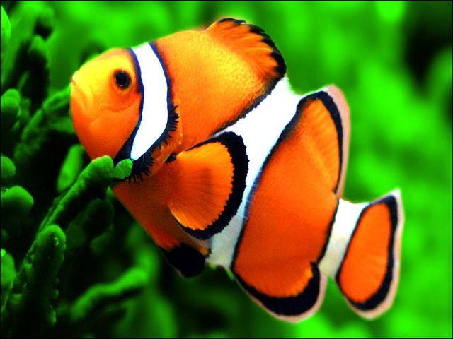 Gambar Ikan Badut