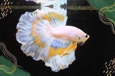 Jenis Ikan Cupang Hias