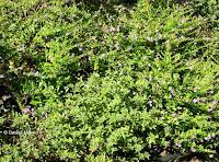 Augustine grass, Foster Botanical Garden - Honolulu, HI