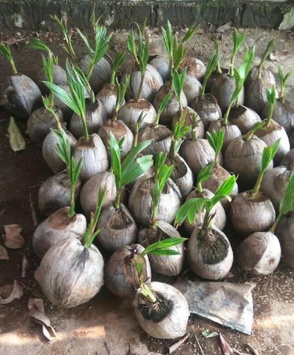 bibit kelapa genjah entog ori entok asli valid Jambi
