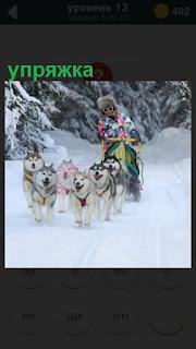 зимой по снегу бежит веселая упряжка на собаках с нартами