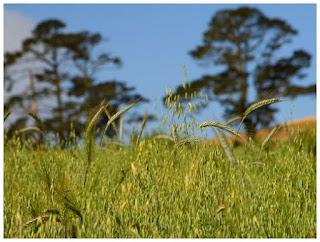 cara-menanam-gandum.jpg