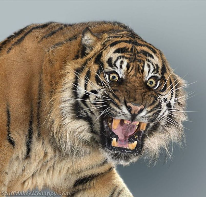 Magnificent Portraits of Big Cats, wild animals by British Photographer Peru