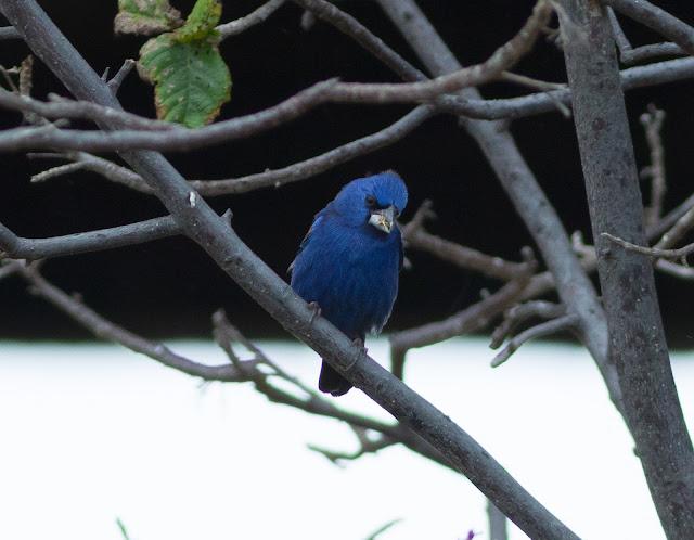 Blue Grosbeak - Dry Tortugas, Florida