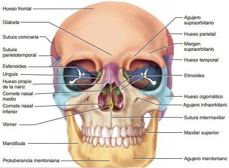 El cráneo y su Anatomía para odontologos (ciencias y tecnología ...