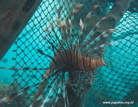 Lion Fish, Ikan Naga Dari Asia Tenggara, Paling Berbisa di Dunia