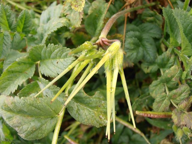 Frutos de la almizclera (Erodium moschatum)