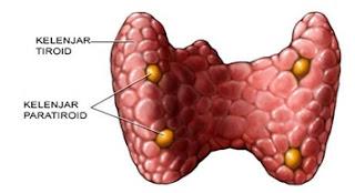 Hormon Yang Dihasilkan Oleh Kelenjar Paratiroid