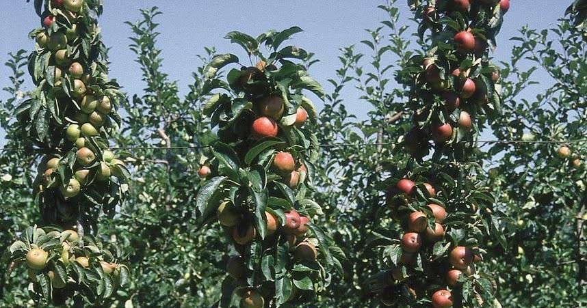 Les arbres fruitiers colonnaires  enfin des arbres fruitiers pour balcons et terrasses   Les