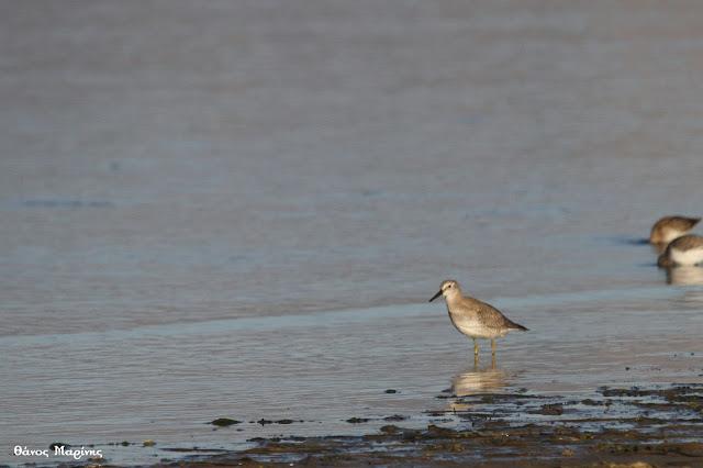 Κακκινοσκαλίδρα: Και νέο σπάνιο πτηνό στην περιοχή του Ερασίνου – Νέας Κίου