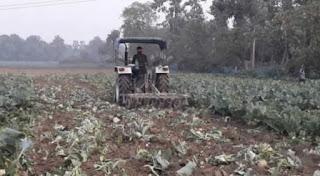 farmer-destroy-couliflower
