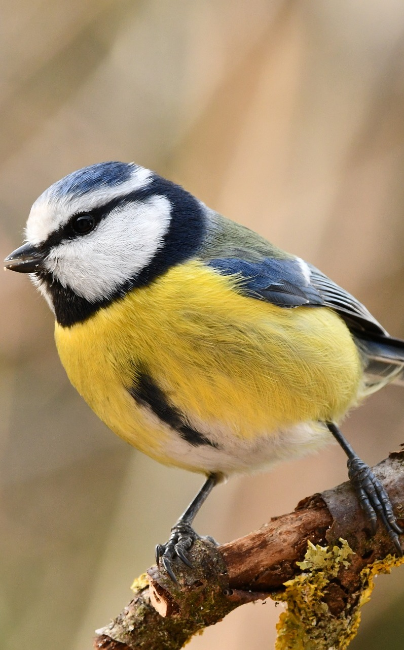 A blue tit up close.