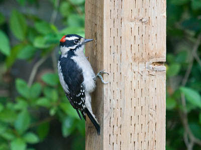 Photo of Downy Woodpecker on wooden post