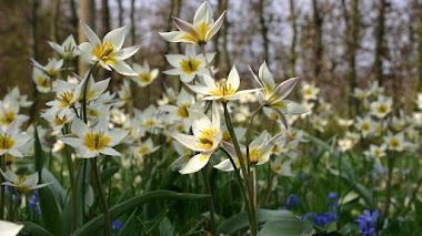 Tulipanes botánicos para el jardín