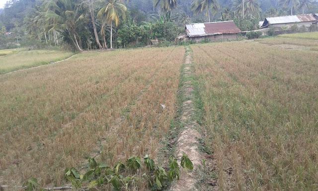 Kekeringan, Belasan Hektare Tanaman Padi di BNS Gagal Panen