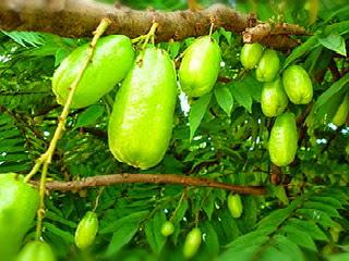 menanam-biji-belimbing-wuluh.jpg