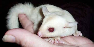 Jual Sugar Glider albino murah